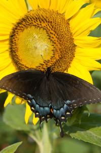 black butterfly (1 of 1)