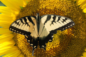 yellow butterfly (1 of 1)