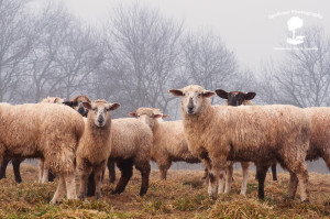 Sheep in fog2