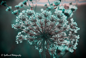Queen Anne's Lace Technicolor