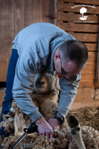 Sheep Shearing-1