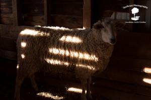 Sheep Shearing-4