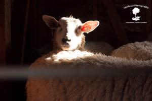 Sheep Shearing-5