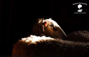 Sheep Shearing-6
