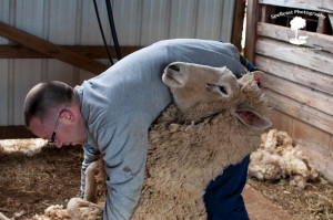 Sheep Shearing-7