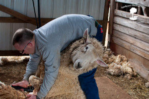 Sheep Shearing-8