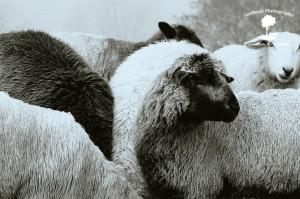 sheep+fog B&W-2