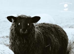 sheep+fog B&W