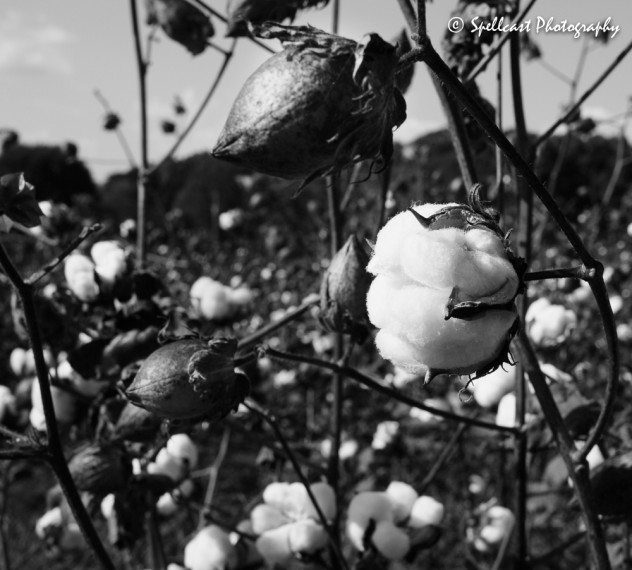 Cotton-2